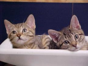 Georgetown Animal Clinic, PC - Veterinarian serving Williamsville, Amherst and Buffalo NY areas: Two Kittens
